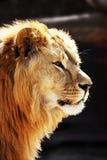 портрет льва Стоковые Изображения