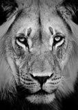 портрет льва Стоковое Изображение