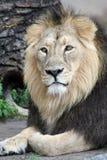 портрет льва Стоковое фото RF
