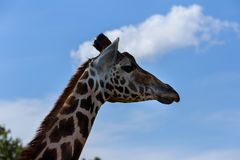 Портрет любознательного Giraffa жирафа над голубым небом с белыми облаками в живой природе Стоковые Изображения
