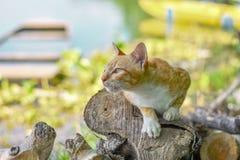Портрет любопытное шотландского кота прямо изолированный на естественной предпосылке стоковое изображение rf