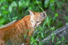 Портрет любопытное шотландского кота прямо изолированный на естественной предпосылке стоковые изображения