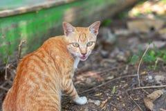 Портрет любопытное шотландского кота прямо изолированный на естественной предпосылке стоковые фото