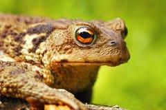 Портрет макроса жабы bufo Bufo Стоковая Фотография RF