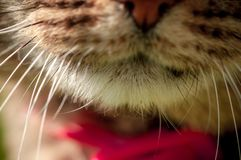 Портрет макроса с выборочным фокусом рта и вискеров домашней кошки стоковые фотографии rf