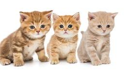 Портрет 3 маленьких котят Стоковые Фото