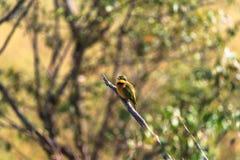 Портрет маленького пчел-едока на ветви masai Кении mara Стоковая Фотография RF