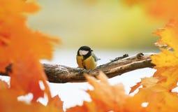 Портрет маленькой красивой синицы птицы сидя в парке осени дальше стоковое изображение