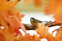 Портрет маленькой красивой синицы птицы сидя в равенстве осени стоковое фото