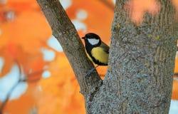 Портрет малой красивой синицы птицы летел в парк o осени стоковые изображения rf
