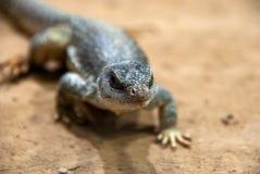 Портрет малой ящерицы идя вокруг стоковое фото rf