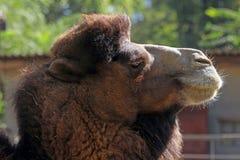 портрет Марокко верблюда Стоковое Изображение