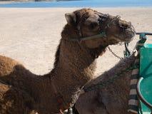 портрет Марокко верблюда стоковая фотография rf