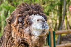 портрет Марокко верблюда Стоковое Изображение RF