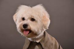 Портрет мальтийсной собаки Стоковое фото RF
