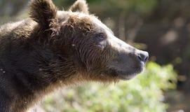 портрет медведя стоковая фотография