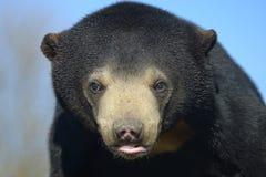 Портрет медведя Sun стоковое изображение rf