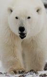 портрет медведя приполюсный Конец-вверх Канада Стоковые Изображения
