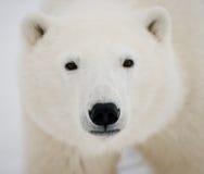 портрет медведя приполюсный Конец-вверх Канада стоковое фото rf