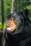 портрет медведя черный Стоковая Фотография