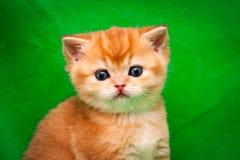 Портрет милого золотого великобританского конца-вверх котенка, намордник красного котенка с розовым носом стоковое фото rf