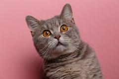 Портрет милого кота шотландский прямо стоковая фотография rf