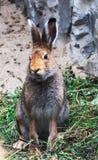Портрет милого одичалого кролика зайчика cottontail сидя на траве Стоковое Фото