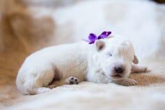 Портрет милого одного щенка maremma недели старого спать на cow& x27; мех s Сладостный белый щенок выглядеть как медведь стоковые фото