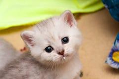 Портрет милого серебристого великобританского котенка с молок-запятнанным намордником стоковая фотография