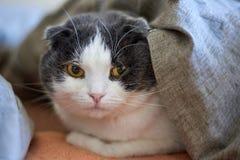 Портрет милого сокращать-ушастого кота, который лежит под одеялом на кровати, конец-вверх стоковое фото rf