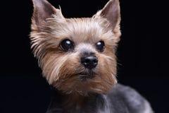 Портрет милого terrier yorkshire Стоковое Изображение