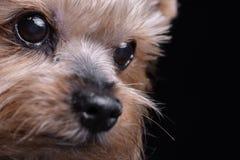 Портрет милого terrier yorkshire Стоковые Фото