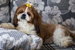Портрет милого tzu shih собаки щенка со смычком лежа на кресле дома стоковые изображения