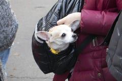 Портрет милой смешной небольшой собаки пегой лошади стоковые фотографии rf