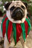 Портрет милой собаки мопса одетой в зеленом и красном воротнике колокола звона рождества бархата с рождественской елкой стоковые фотографии rf