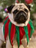 Портрет милой собаки мопса одетой в зеленом и красном воротнике колокола звона рождества бархата с рождественской елкой стоковое фото rf