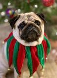 Портрет милой собаки мопса одетой в зеленом и красном воротнике колокола звона рождества бархата с рождественской елкой стоковое изображение