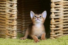 Портрет милого абиссинского котенка стоковая фотография