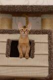 Портрет милого абиссинского котенка стоковые изображения