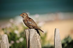 Портрет милого воробья на пляже Стоковое Изображение
