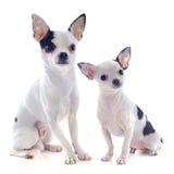 Чихуахуа щенка и взрослого Стоковое Изображение