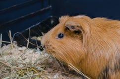 Портрет милой красной морской свинки Стоковая Фотография