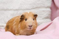 Портрет милой красной морской свинки Стоковая Фотография RF