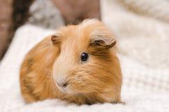 Портрет милой красной морской свинки Стоковые Фотографии RF