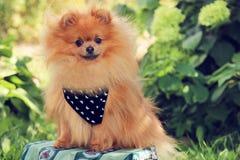 Портрет милой pomeranian собаки прогулка собаки Стоковое фото RF