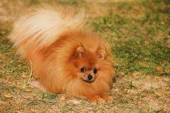 Портрет милой pomeranian собаки прогулка собаки Стоковые Изображения