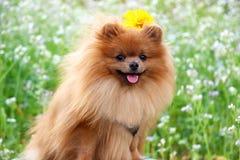 Портрет милой pomeranian собаки прогулка собаки Стоковые Фотографии RF
