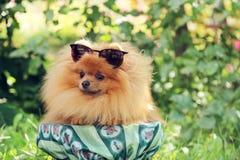 Портрет милой pomeranian собаки прогулка собаки Стоковая Фотография RF