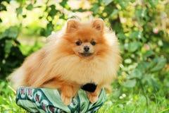 Портрет милой pomeranian собаки прогулка собаки Стоковая Фотография