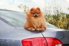 Портрет милой pomeranian собаки прогулка собаки Стоковые Фото
